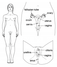 Diagram showing the female reproductive system.