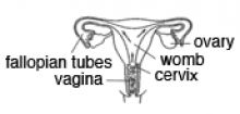 image showing how bacteria infects the fallopian tubes and uterus